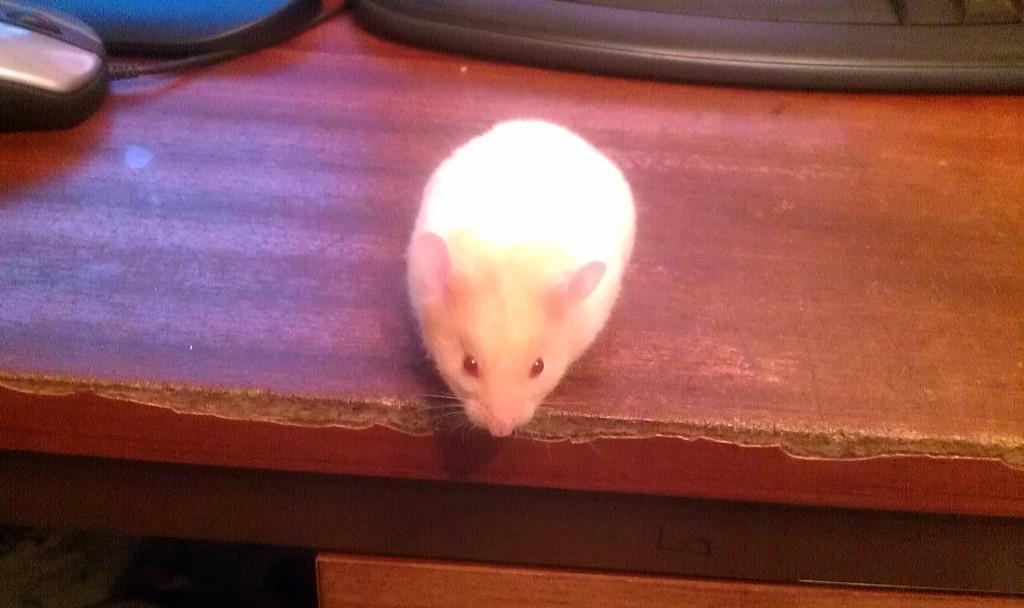 Bluebell the Siberian hamster